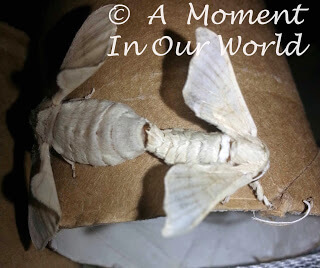 This Silkworm unit is a great way to learn about silkworms and goes great alongside rising your own silkworms.