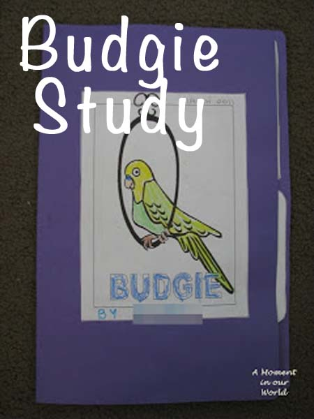 Budgie Study a