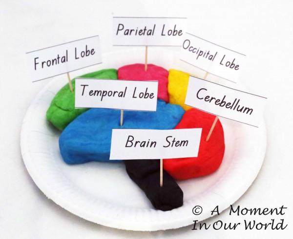 Playdough Model Brain Labelled
