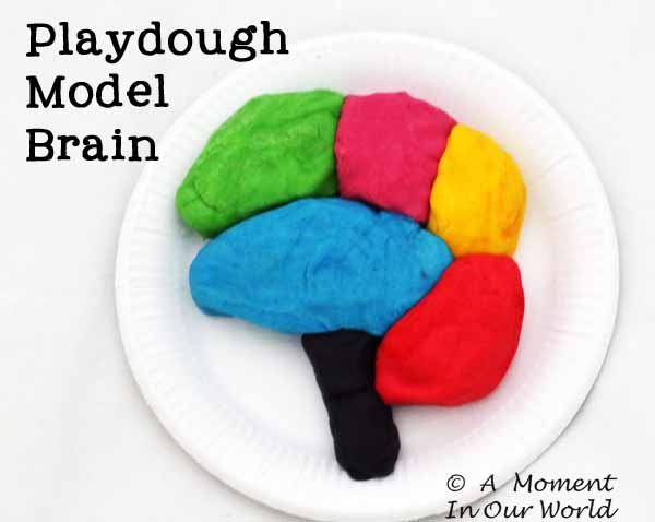 Playdough Model Brain