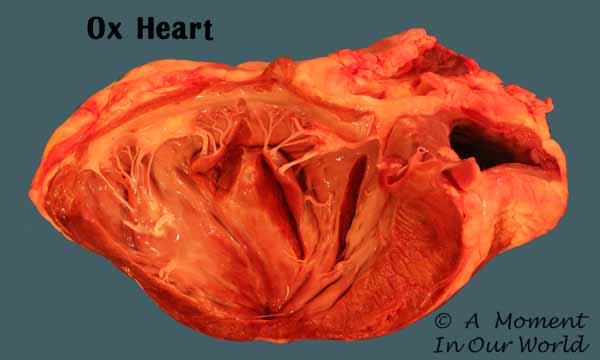 ox heart 2