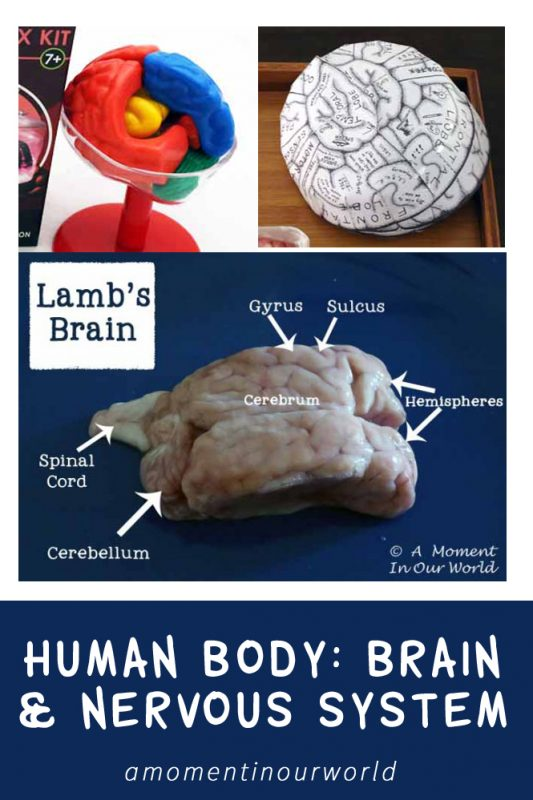Learn about the brain and nervous system with these fun activities.