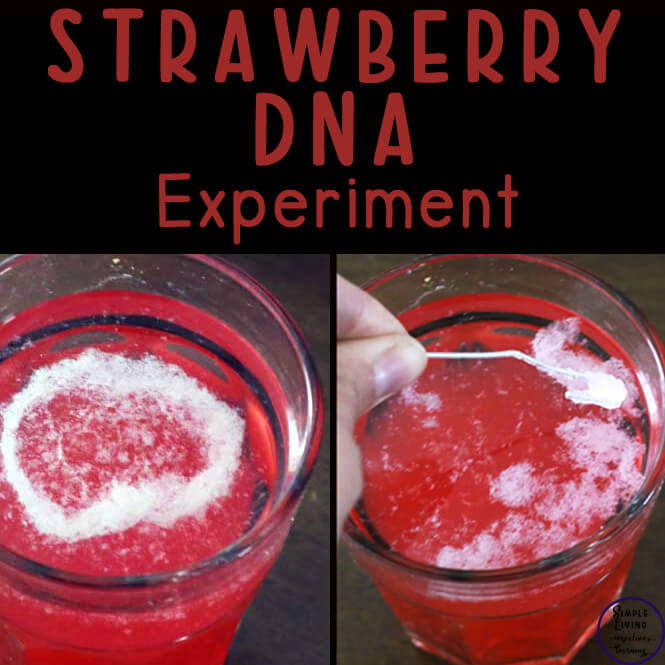 Strawberry DNA Science Experiment