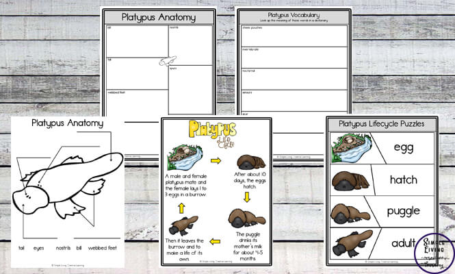 The platypus is one of Australia's most unique animals. This Platypus Unit will help children learn more about the life cycle of the platypus.