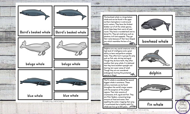 Kids will love learning about thirteen different species of whales with these sets fun whale cards ~ 3-part cards and information cards.