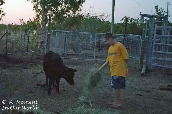 Feeding Cows 1