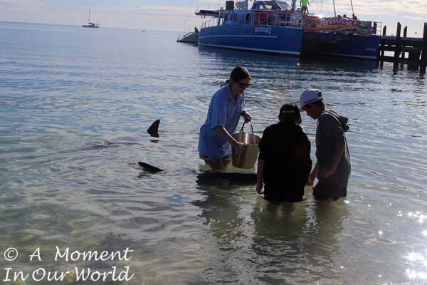 Dolphin Feeding Monkey Mia 27