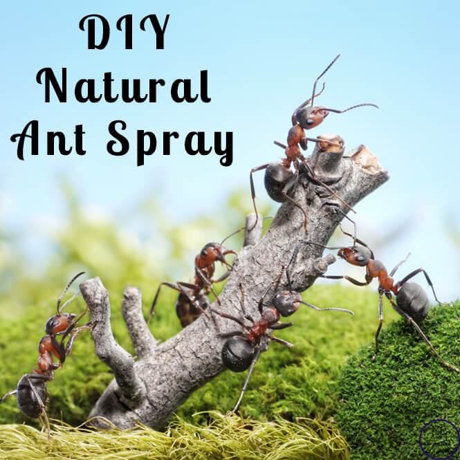 Natural Ant Spray for Your House