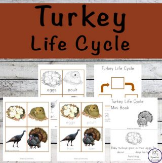 Interested in learning about the Turkey Life Cycle? Then this is a good printable pack to start with.