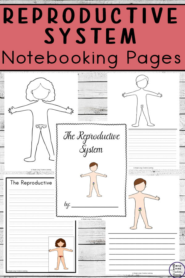 Reproductive System Notebooking Pages