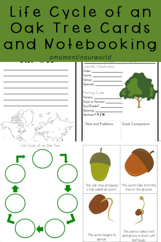 These Lifecycle of an Oak Tree Cards and Notebooking Pages are a great addition to your plant studies.