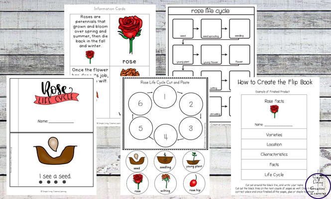 This Rose Life Cycle Printable Pack is a great way to learn more about these gorgeous flowers while working on math and literacy skills.