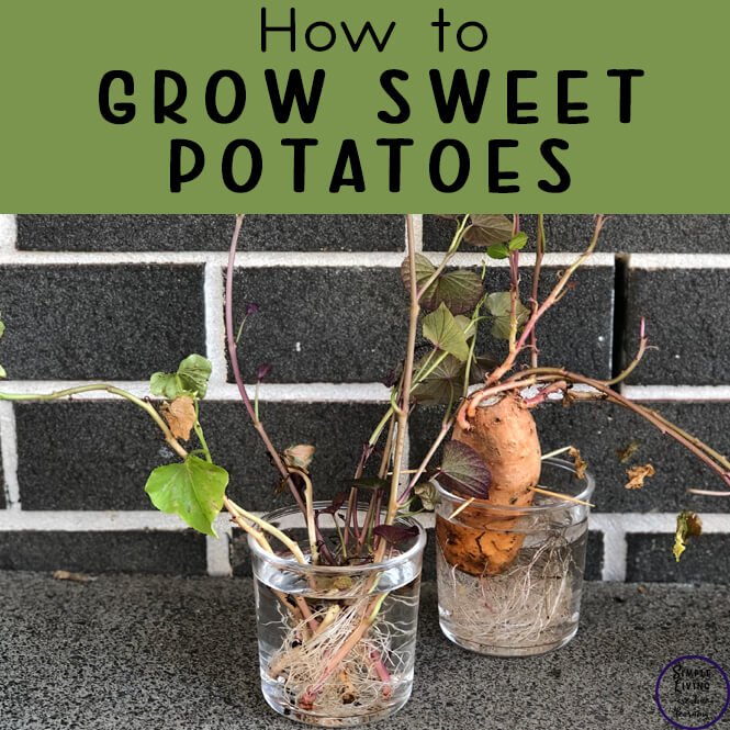 Sweet potatoes are very easy to grow and with these tips on how to grow sweet potatoes, you will be growing some for yourself in no time at all.