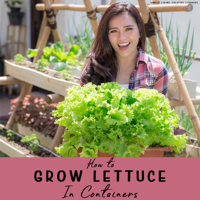 How to Grow Lettuce in Containers