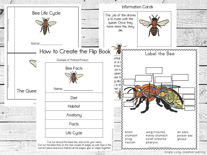 Bee Life Cycle Printable Pack