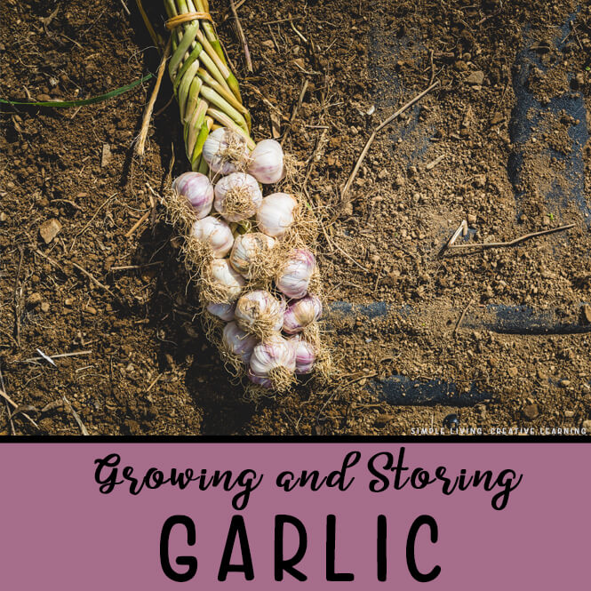 Growing and Storing Garlic