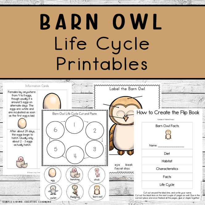 Barn Owl Life Cycle Printables