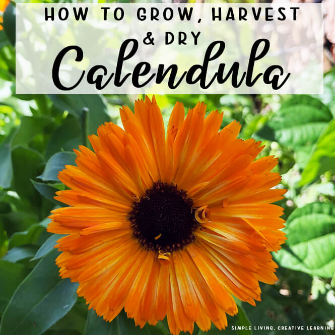 How to Grow, Harvest and Dry Calendula