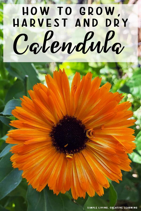 How to Grow, Harvest and Dry Calendula
