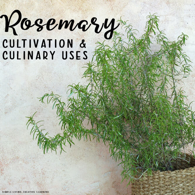 Rosemary Cultivation and Culinary Uses