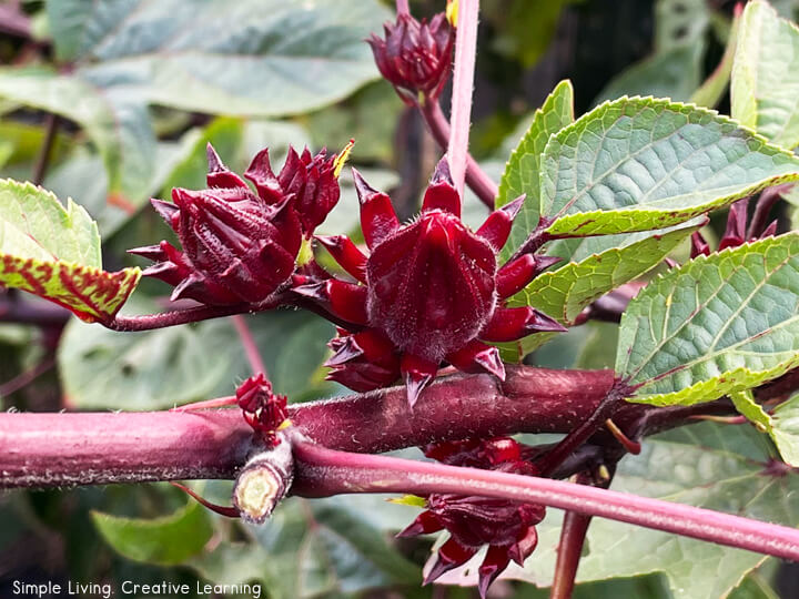How to Grow, Harvest and Use Rosella (Hibiscus)