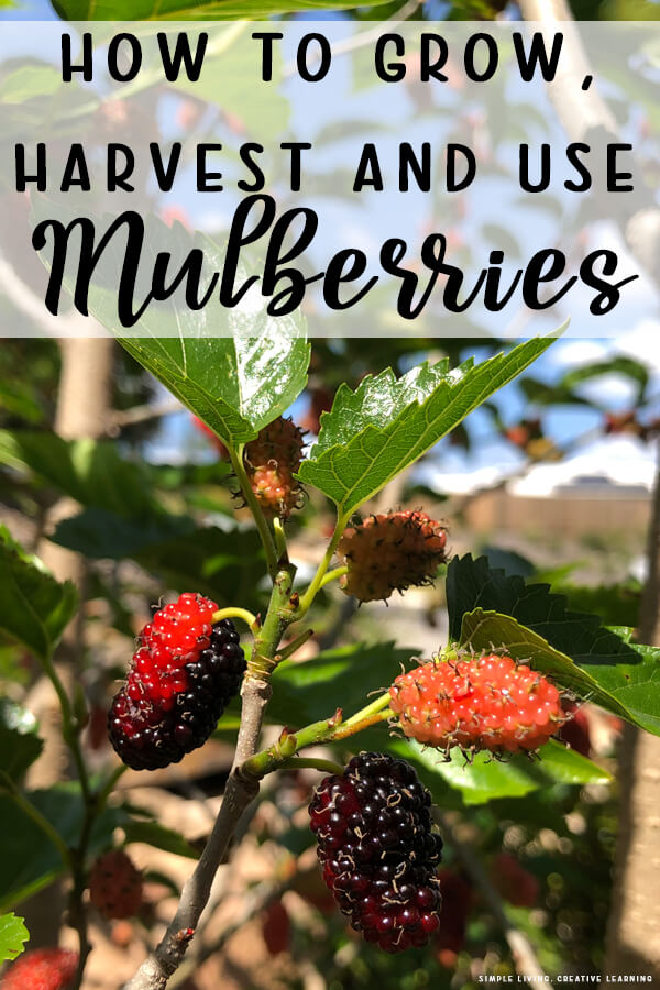 How to Grow, Harvest and Use Mulberries