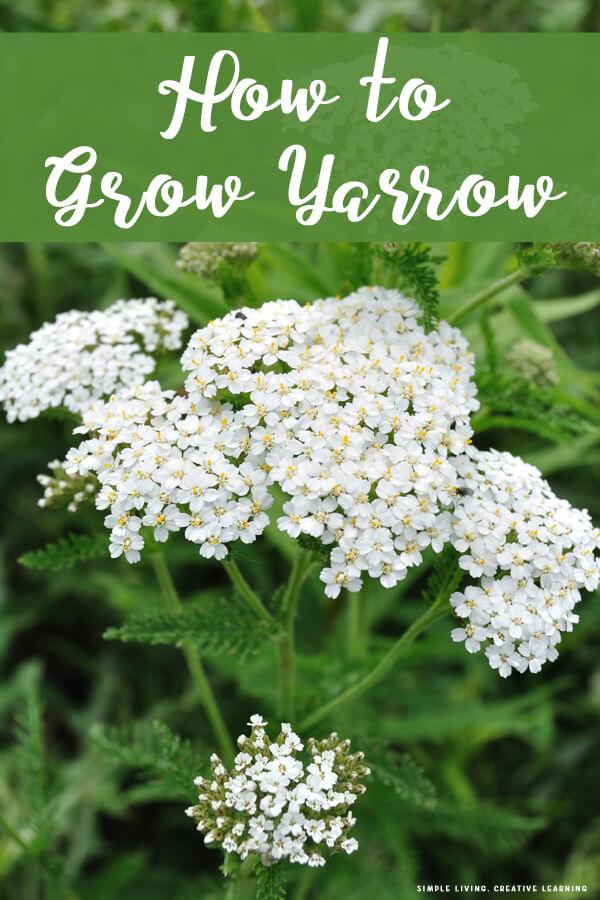 How to Grow Yarrow