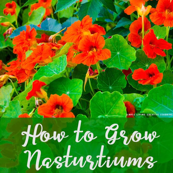 Growing Nasturtiums
