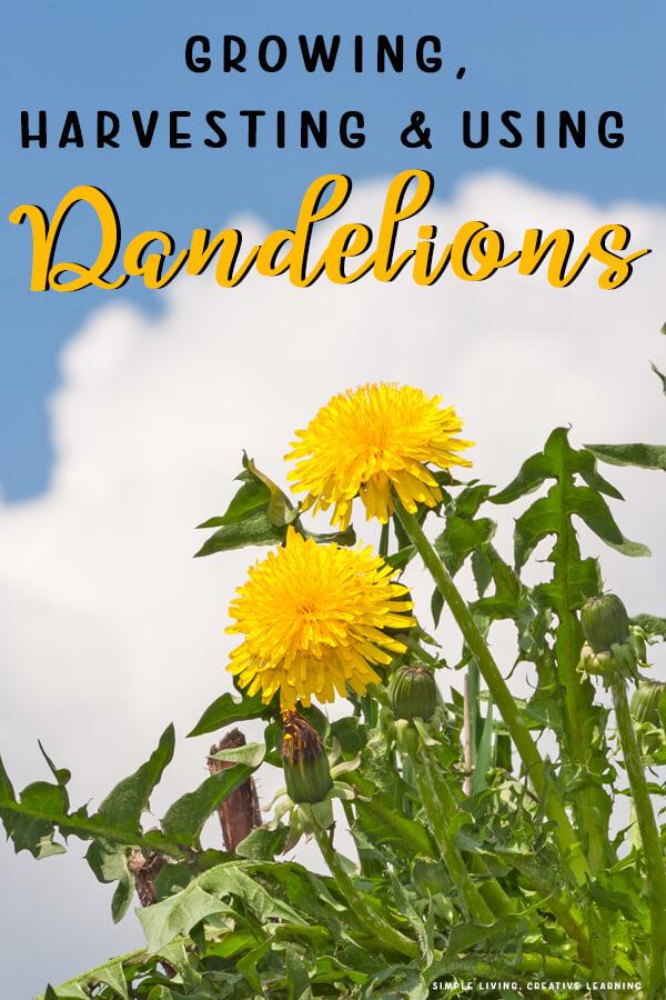 Growing, Harvesting and Using Dandelions